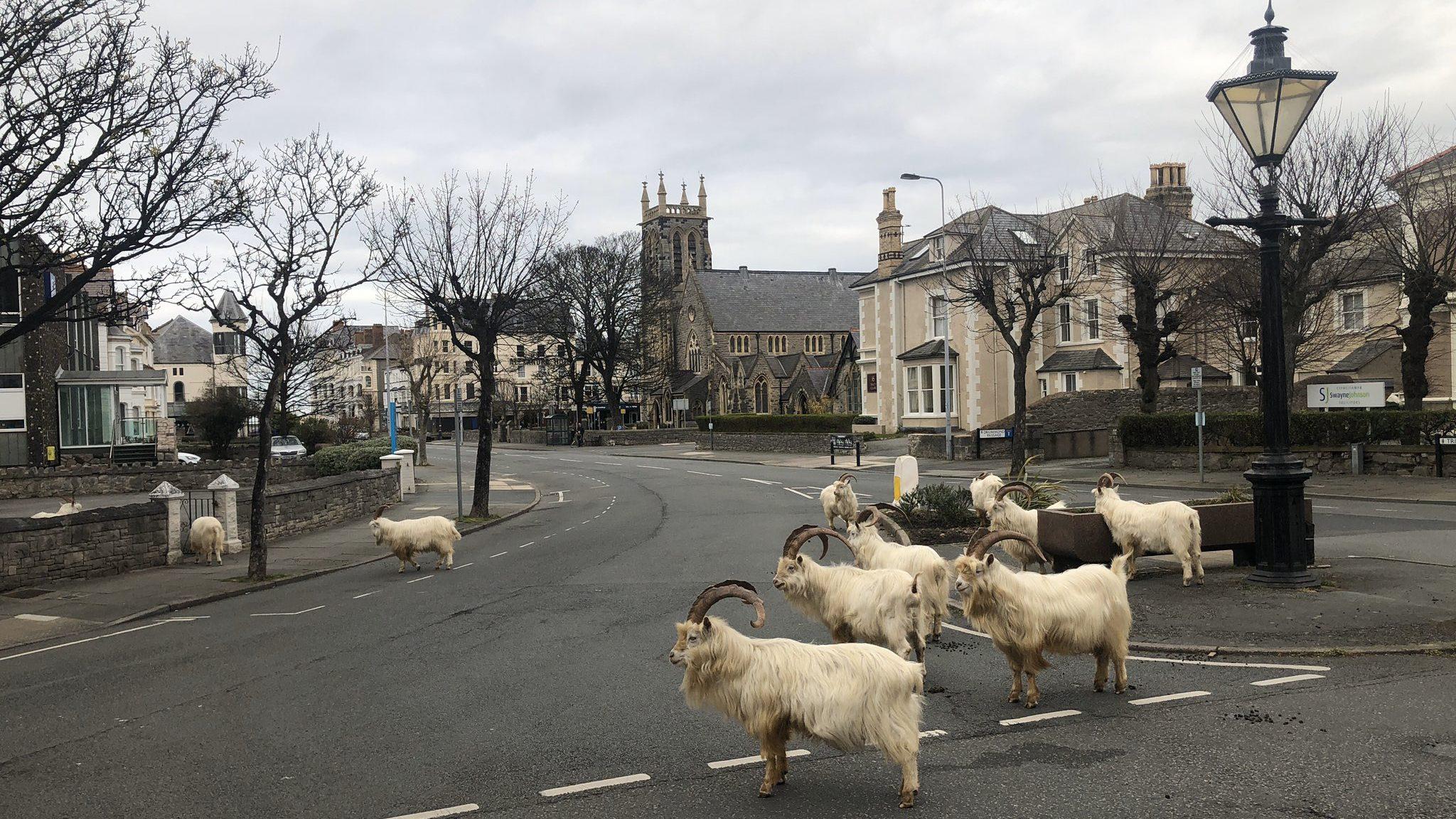 cabras-salen-a-pasear-por-gales-mientras-las-calles-estan-vacias