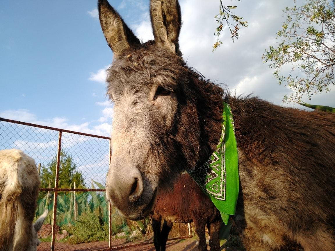 El burro mexicano está en peligro de extinción.