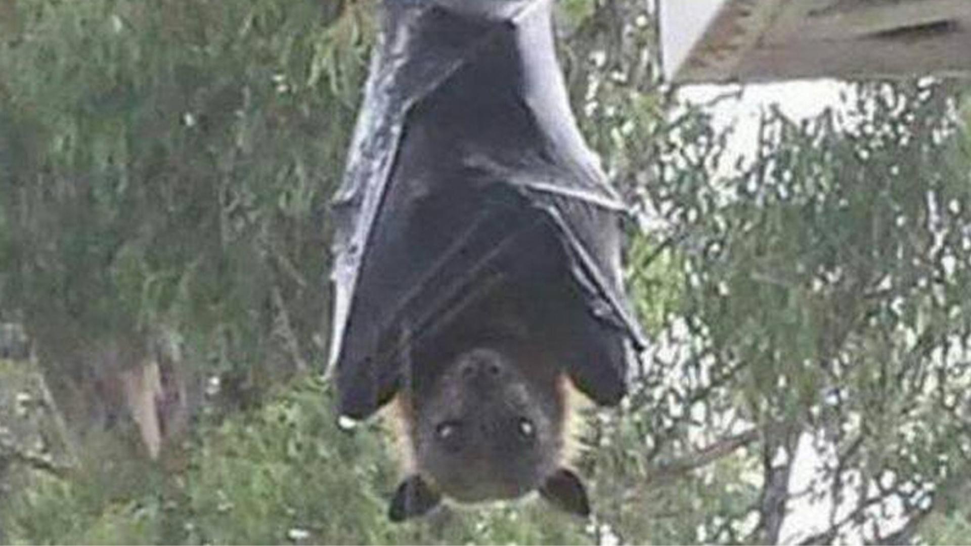 Murciélago del tamaño de una persona asombra en Filipinas