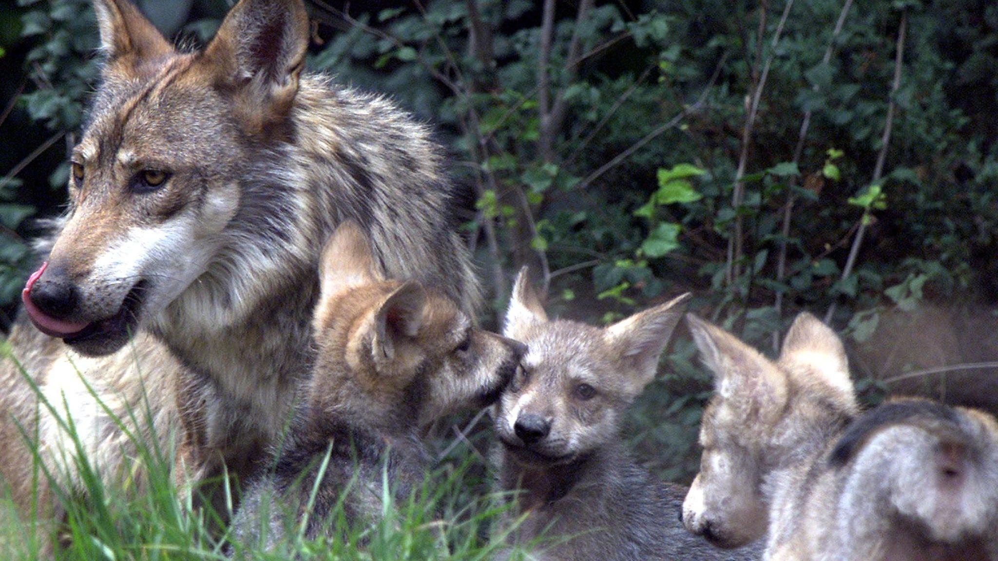 cachorros de lobo gris mexicano