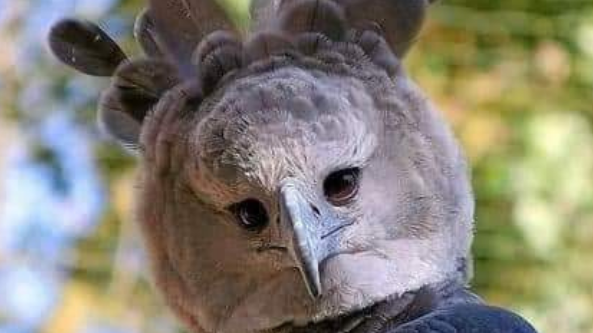 Esta es la águila arpía que tiene el tamaño de un humano
